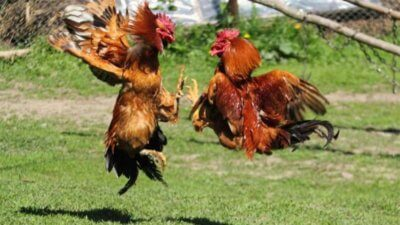 scommettere combatitmento galli